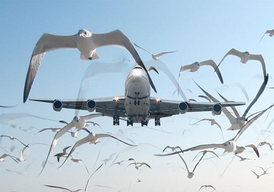 Aumentano i casi di bird strike: cause e conseguenze