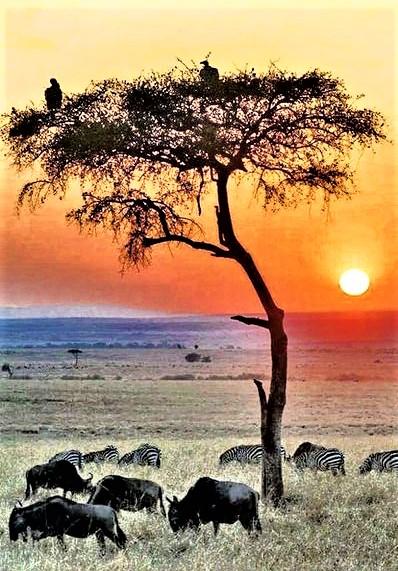 mandria di zebre al tramonto in sud africa