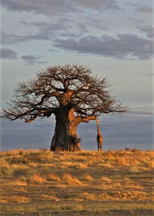 grande albero con giraffa sullo sfondo